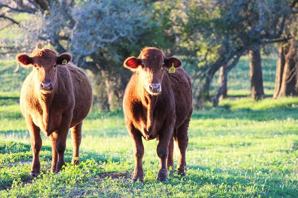 cows.spring.01